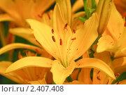 Купить «Желтая лилия (Lilium)», эксклюзивное фото № 2407408, снято 20 июля 2009 г. (c) Алёшина Оксана / Фотобанк Лори