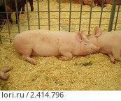 Купить «Свиньи», фото № 2414796, снято 20 июня 2006 г. (c) Илья Садовский / Фотобанк Лори