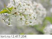 Купить «Ветка цветущей вишни», фото № 2417204, снято 18 мая 2009 г. (c) Сычёва Виктория / Фотобанк Лори
