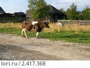 Корова бредет домой. Вечер в деревне. Стоковое фото, фотограф Alexey D. / Фотобанк Лори