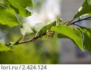 Купить «Обручальные кольца на ветке дерева», фото № 2424124, снято 17 июля 2010 г. (c) Gabidullin Oleg / Фотобанк Лори