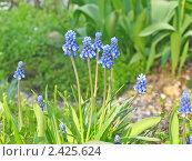 Купить «Цветы Мускари (лат. Muscari)», фото № 2425624, снято 7 мая 2010 г. (c) Елена Завитаева / Фотобанк Лори