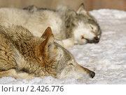 Купить «Сладкий сон. Волки (лат. Canis lupus)», фото № 2426776, снято 17 марта 2011 г. (c) Валерия Попова / Фотобанк Лори