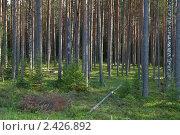 Купить «Сосновый лес вечером», фото № 2426892, снято 14 июля 2010 г. (c) Михаил Иванов / Фотобанк Лори