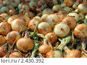Урожай лука. Стоковое фото, фотограф Екатерина Жукова / Фотобанк Лори