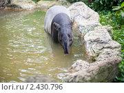 Тапир в пруду. Стоковое фото, фотограф Роман Богдановский / Фотобанк Лори