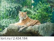 Тигр. Стоковое фото, фотограф Роман Богдановский / Фотобанк Лори