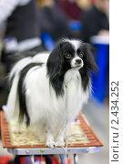 """Купить «Фален. На выставке собак """"Евразия""""», фото № 2434252, снято 26 марта 2011 г. (c) Сергей Лаврентьев / Фотобанк Лори"""