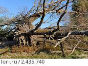 Купить «Выкорчеванное дерево», фото № 2435740, снято 26 сентября 2010 г. (c) Андрияшкин Александр / Фотобанк Лори