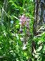 Ясенец голостолбиковый (лат. Dictamnus gymnostylus), фото № 2440408, снято 7 июня 2007 г. (c) Петрова Ольга / Фотобанк Лори