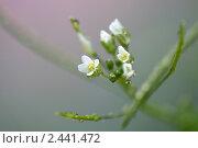Капли воды на белых цветах. Стоковое фото, фотограф Александр Гавриченко / Фотобанк Лори
