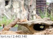 Сурикаты. Стоковое фото, фотограф Роман Богдановский / Фотобанк Лори