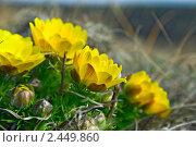 Купить «Адонис весенний», фото № 2449860, снято 10 апреля 2010 г. (c) Сергей Соболев / Фотобанк Лори