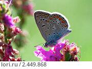 Купить «Бабочка голубянка», фото № 2449868, снято 19 августа 2006 г. (c) Сергей Соболев / Фотобанк Лори