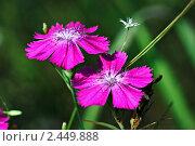 Купить «Гвоздика травянка», фото № 2449888, снято 12 июля 2006 г. (c) Сергей Соболев / Фотобанк Лори