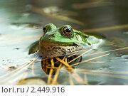 Купить «Озерная лягушка», фото № 2449916, снято 2 сентября 2006 г. (c) Сергей Соболев / Фотобанк Лори