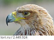 Купить «Орел-могильник», фото № 2449924, снято 19 апреля 2010 г. (c) Сергей Соболев / Фотобанк Лори