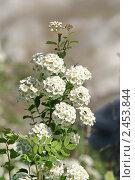 Белое соцветие. Стоковое фото, фотограф Юрий Караваев / Фотобанк Лори