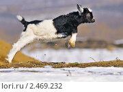Купить «Маленький козленок», фото № 2469232, снято 3 марта 2011 г. (c) Титаренко Елена / Фотобанк Лори