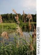 Соцветия тростника на реке. Стоковое фото, фотограф Сидоров Артем Романович / Фотобанк Лори