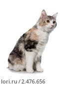 Кошка породы курильский бобтейл. Стоковое фото, фотограф ingret (Ира Бачинская) / Фотобанк Лори