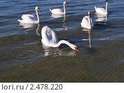 Группа лебедей, плавающих в море. Стоковое фото, фотограф Wladlen Edvard Wisser / Фотобанк Лори