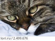 Купить «Кошачьи глаза», эксклюзивное фото № 2499676, снято 22 апреля 2011 г. (c) Зобков Георгий / Фотобанк Лори