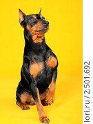 Собака с поднятой лапой. Стоковое фото, фотограф Тутубалина Ольга / Фотобанк Лори