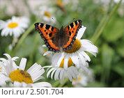 Бабочка на ромашке. Стоковое фото, фотограф Тутубалина Ольга / Фотобанк Лори