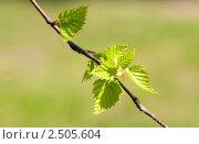 Купить «Молодая листва березы на светло-зеленом фоне», фото № 2505604, снято 30 апреля 2011 г. (c) Екатерина Овсянникова / Фотобанк Лори