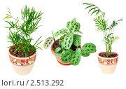 Купить «Коллекция комнатных растений: погонатерум, маранта, циперус, изолировано на белом», фото № 2513292, снято 5 февраля 2009 г. (c) Ольга Красавина / Фотобанк Лори
