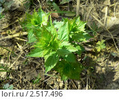 Купить «Росток ветреницы лютиковой (Anemone ranunculoides)», фото № 2517496, снято 1 мая 2011 г. (c) Вера Тропынина / Фотобанк Лори