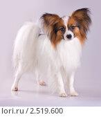 Купить «Собака породы папильон», фото № 2519600, снято 8 мая 2011 г. (c) Сергей Лаврентьев / Фотобанк Лори