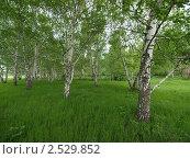Купить «Трава в березовой роще», фото № 2529852, снято 12 мая 2011 г. (c) Константин Босов / Фотобанк Лори