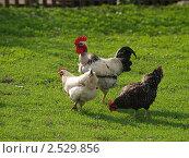 Купить «Петух с парой кур», фото № 2529856, снято 12 мая 2011 г. (c) Константин Босов / Фотобанк Лори