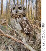 Купить «Болотная сова», фото № 2530188, снято 25 апреля 2011 г. (c) Александр Шилин / Фотобанк Лори
