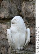 Белая сова или полярная сова (Bubo scandiacus, Nyctea scandiaca) Стоковое фото, фотограф Игорь Долгов / Фотобанк Лори