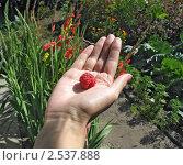 Купить «Крупная ягода малины на женской ладони», фото № 2537888, снято 16 августа 2009 г. (c) Светлана Ильева (Иванова) / Фотобанк Лори