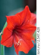Купить «Цветок амариллиса крупным планом», фото № 2547428, снято 26 апреля 2011 г. (c) Владимир Борисов / Фотобанк Лори