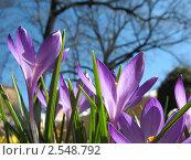 Купить «Фиолетовый крокус на фоне голубого неба», фото № 2548792, снято 20 апреля 2011 г. (c) Заноза-Ру / Фотобанк Лори