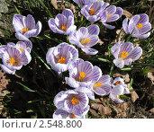 Купить «Белый крокус с лиловыми прожилками», фото № 2548800, снято 20 апреля 2011 г. (c) Заноза-Ру / Фотобанк Лори