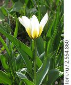 Белый тюльпан. Стоковое фото, фотограф Анна Павлова / Фотобанк Лори