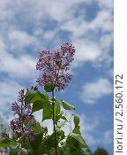 Цветок сирени на фоне неба. Стоковое фото, фотограф Юрий Караваев / Фотобанк Лори