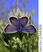Бабочка голубянка. Стоковое фото, фотограф Жданова Дарья Юрьевна / Фотобанк Лори