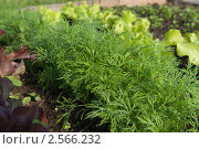 Молодая зелень на грядке. Стоковое фото, фотограф Екатерина Жукова / Фотобанк Лори