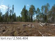 Смешанный лес. Вырубка леса. Волок. Лесосека. Стоковое фото, фотограф Елена Лудкова / Фотобанк Лори
