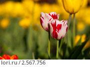 Тюльпаны. Стоковое фото, фотограф Сергей Шепелев / Фотобанк Лори