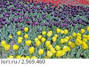 Весенние тюльпаны. Стоковое фото, фотограф Володимир Щербина / Фотобанк Лори