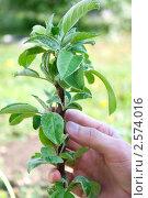 Купить «Колонновидная яблоня и рука садовода», фото № 2574016, снято 24 мая 2011 г. (c) Александр Романов / Фотобанк Лори