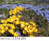 Купить «Желтый крокус и хионодокса», фото № 2574284, снято 20 апреля 2011 г. (c) Заноза-Ру / Фотобанк Лори